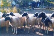 Πρόβατο Φυλή Άργους
