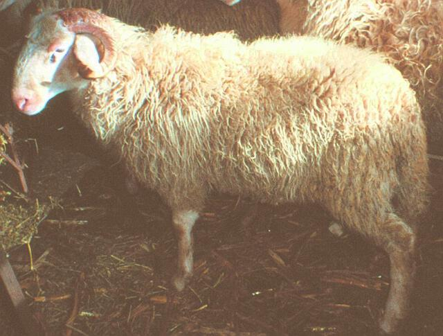 Πρόβατο Αγρινίου