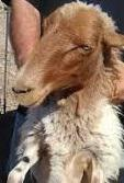 Πρόβατο Φυλή Αστερουσιανό