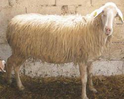 Πρόβατο Φυλή Ζακύνθου