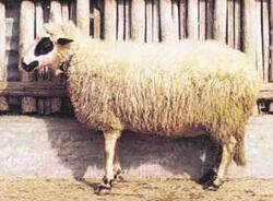Πρόβατο Φυλή Θράκης