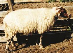 Πρόβατο Φυλή Καλαρρύτικο