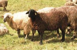 Πρόβατο Φυλή Καραγκούνικο