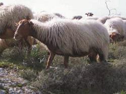 Πρόβατο Φυλή Καρύστου