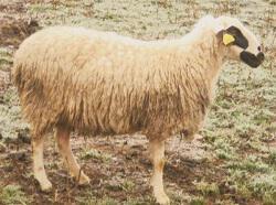 Πρόβατο Φυλή Κατσικά
