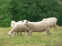 Πρόβατο Λακόν