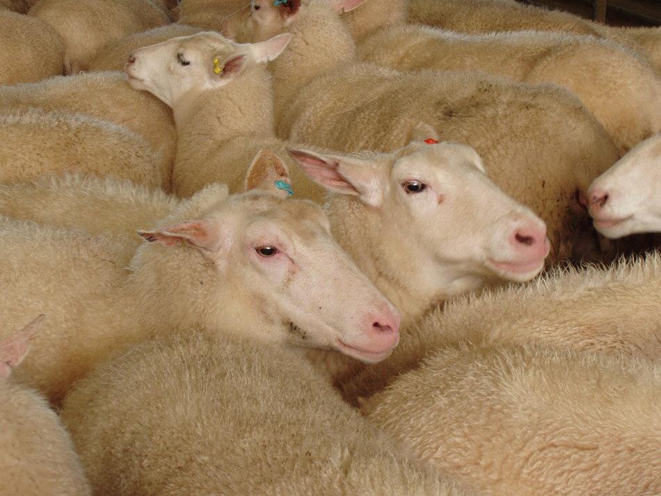 Πρόβατο Φρισλανδίας