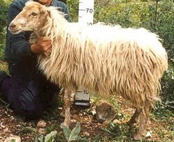 Πρόβατο φυλή Κεφαλληνίας