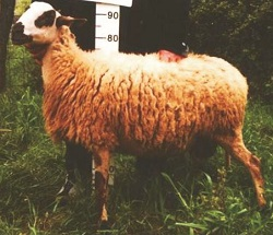 Πρόβατο φυλή Κύμης