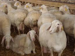 Πρόβατο ASSAF