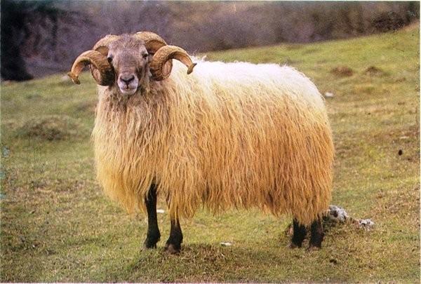 Πρόβατο awassi
