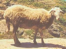 Πρόβατο Ευδήλου Ικαρίας