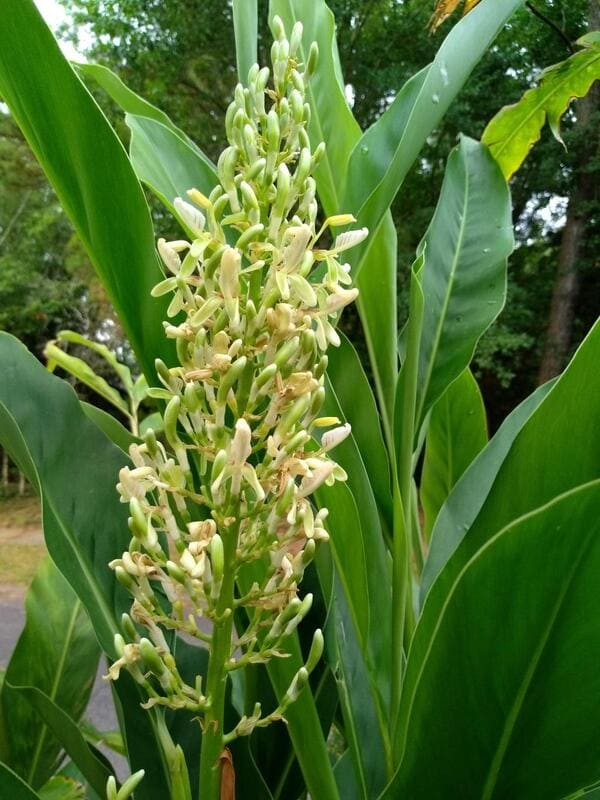 Το φυτό γκαλανγκάλ