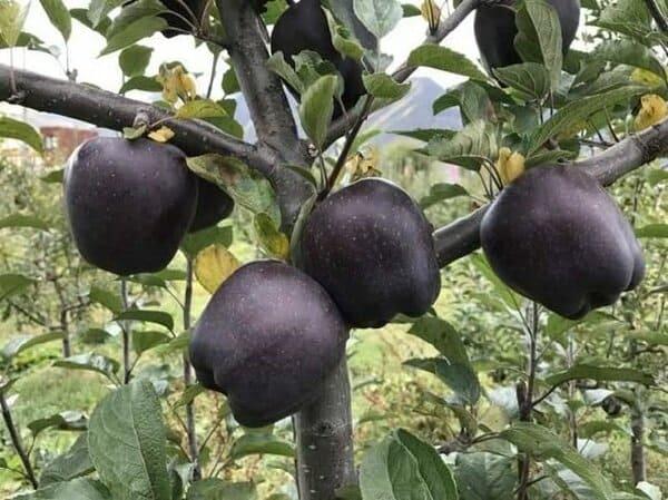 Μαύρα μήλα