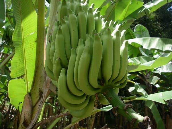 Μπανάνες Αντιλλών